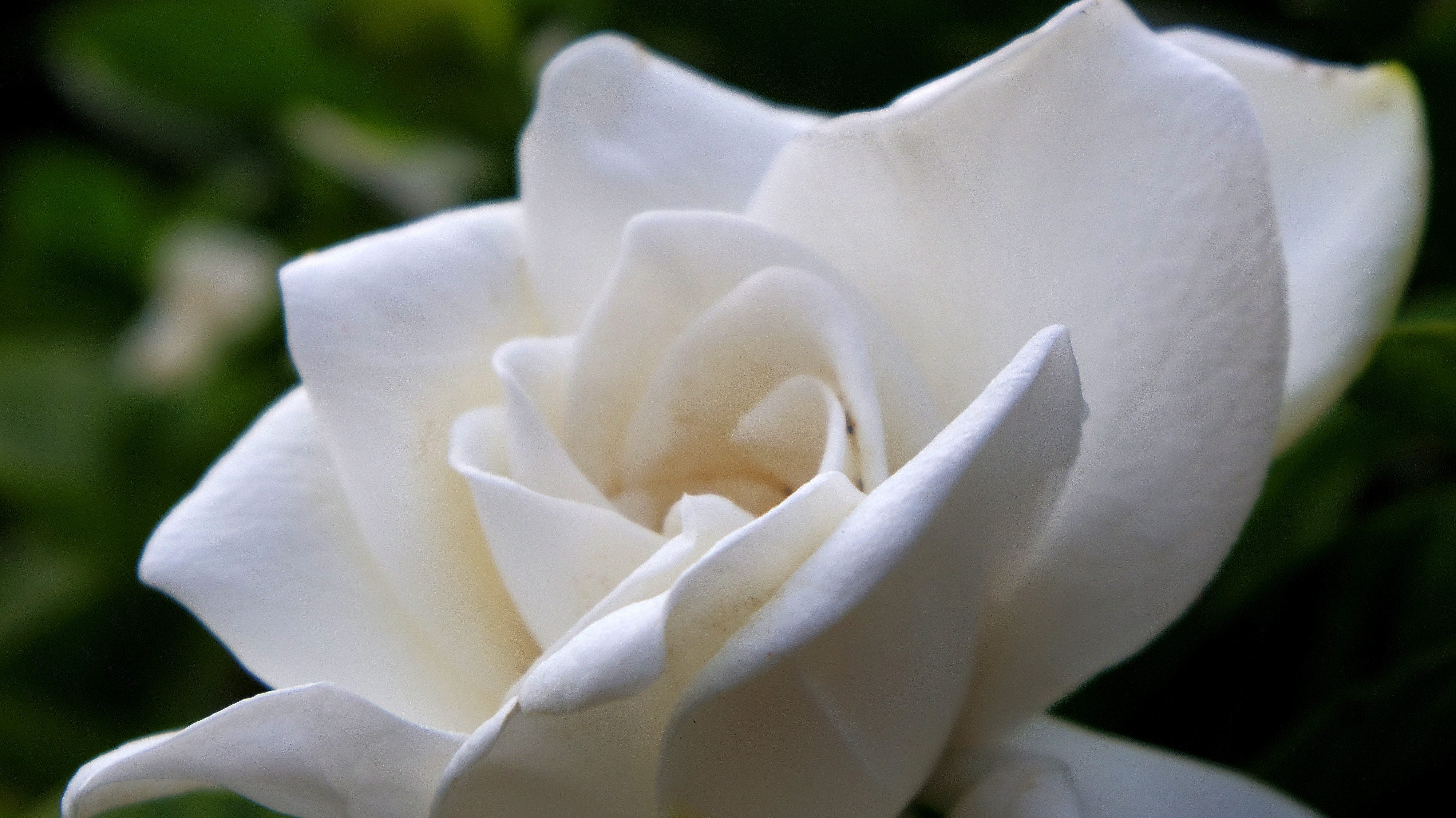 The meaning behind your chosen wedding flowers gardenia wedding flowers meaning mightylinksfo
